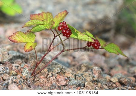 The bush of stone bramble berries. Rubus saxatilis