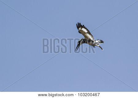 Pied Kingfisher In Tissa Wewa, Sri Lanka