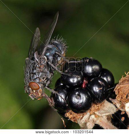 Close-up Photo Of A Fly.