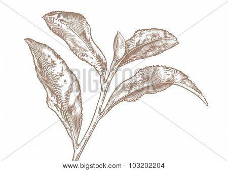 Branch Of Tea