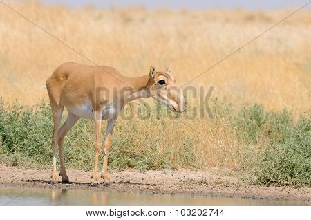 Wild Red List Saiga Antelope Near Watering In Steppe