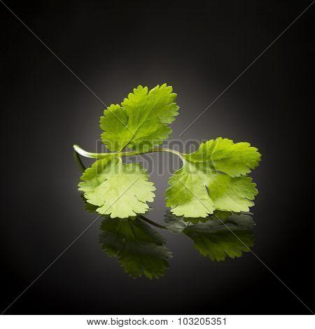 herb / coriander on black