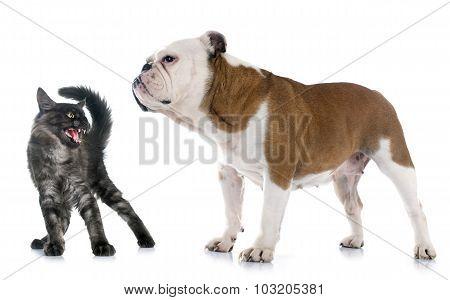 English Bulldog And Angry Cat