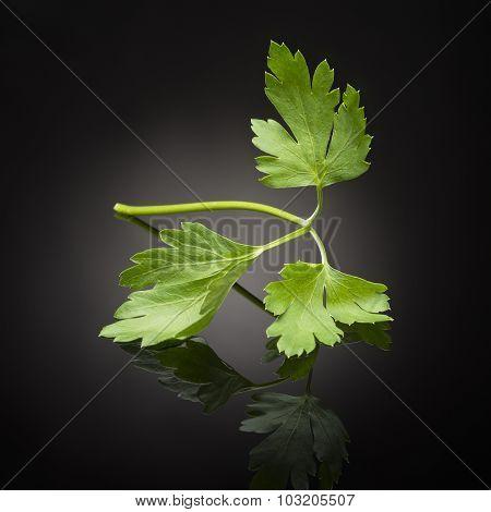 herb / leaf parsley on black