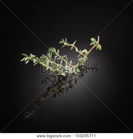 herb / thyme on black