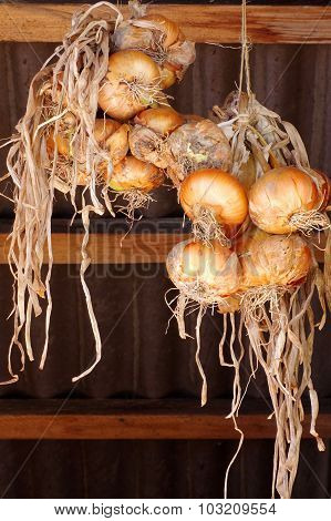 Ripe onions hanging