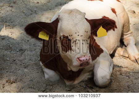 Resting Cow.