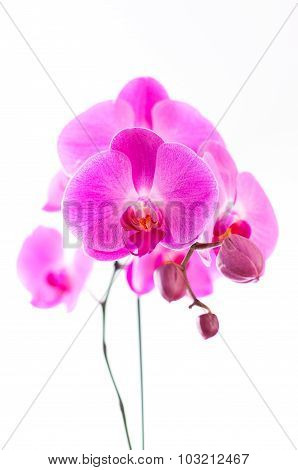 Purple Orchids With White Background