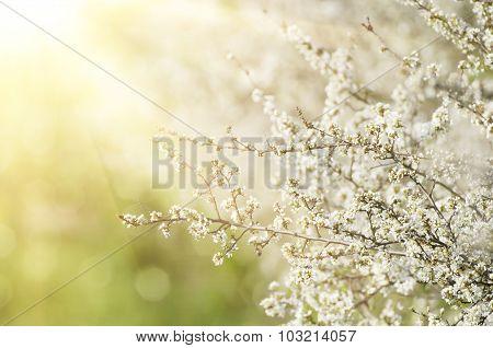 Pear flowers