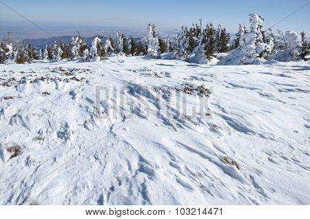 Winter Landscape, Fir Trees In Frost