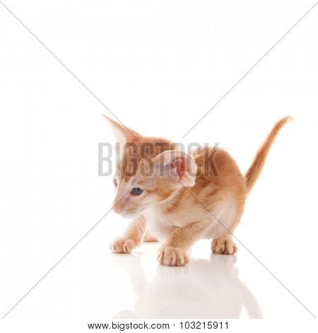 Little Siamese kitten isolated over white background