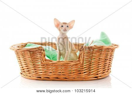 Little Siamese red cat sitting in big basket