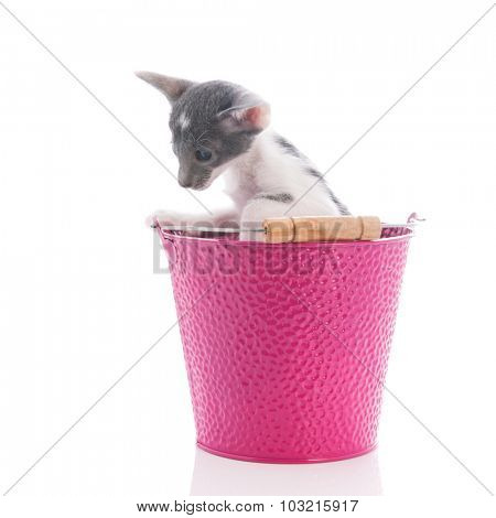 Little Siamese cat in pink bucket isolated over white background