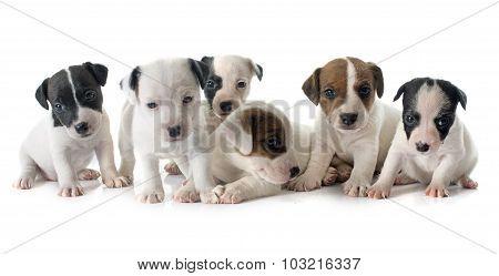 Puppies Jack Russel Terrier