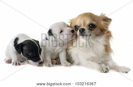 Puppies Jack Russel Terrier And Chihuahua