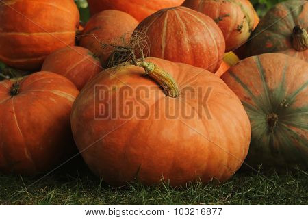 Ripe bright pumpkin lie on the ground after harvest