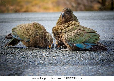 Close Up Beautiful Color Feather ,plumage Flock Of Kea Birds With Blur Background ,kea Important Ani