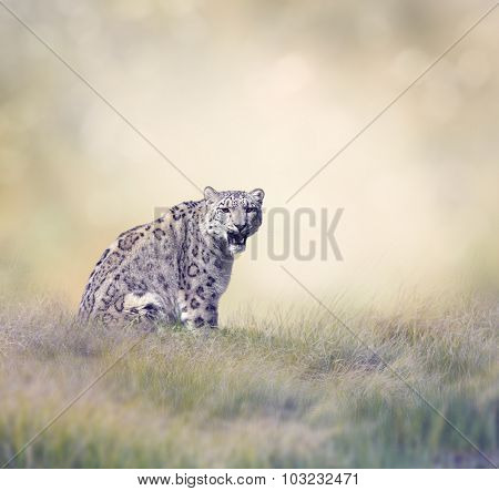 Snow Leopard in the Grass