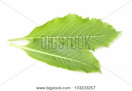 The Leaves Of Horseradish For Canning.