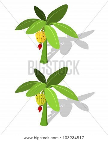 Banana Tree With Banana Fruit