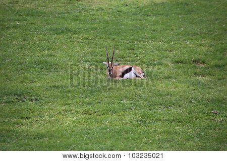 Thomson's gazelle