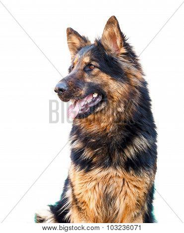 German Shepherd dog, isolated over white