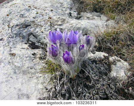 Рasque-flower (Pulsatílla pátens)