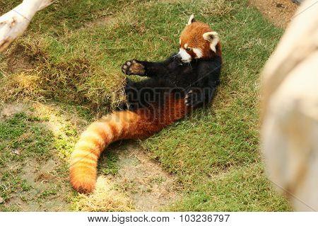 Red panda playing