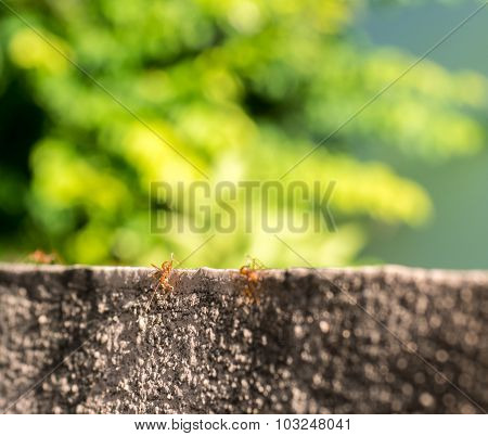 Red Ants On Old Concrete Wall,select Focus