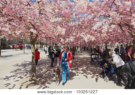 People enjoy walking under blossoming cherry trees at Kungstradgarden in Stockholm, Sweden.