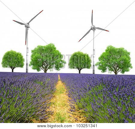 Lavender field with trees and wind turbines on white background