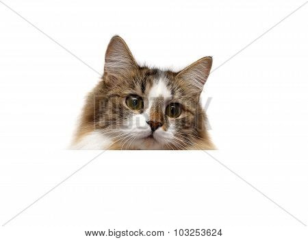 Fluffy Cat On A White Background Sits Behind A White Banner