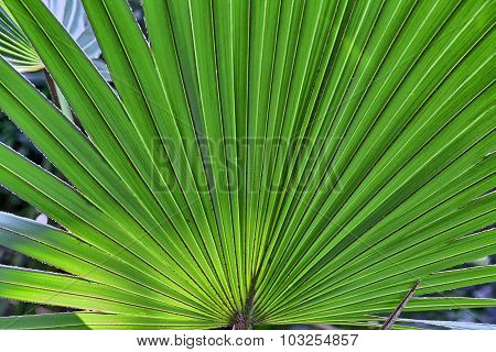 Close Up Of A Palm Tree Leaf For Backgrounds