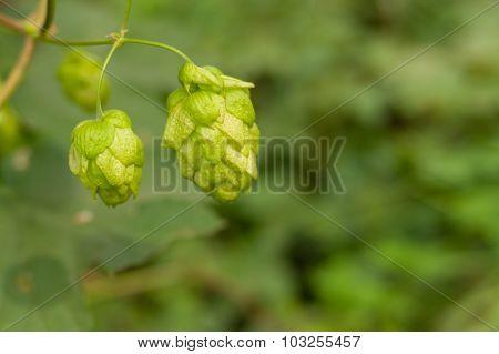 Ripe buds of organic hop