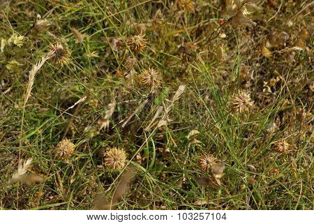 Grasshopper in a meadow grass.