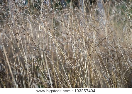 Stalks Of The Blossoming Grass