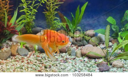 Kissing Gold Fish