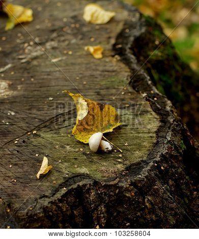 Mushroom On Tree Stump