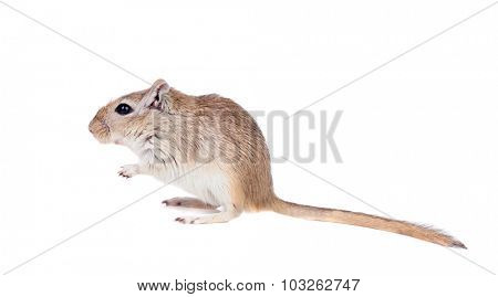 Funny gergil isolated on a white background