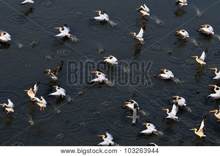 Synchronous Flight Of White Pelicans Over Manych Lake