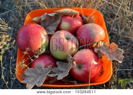Bowl of apples in the light of the setting sun, beautiful autumn still life