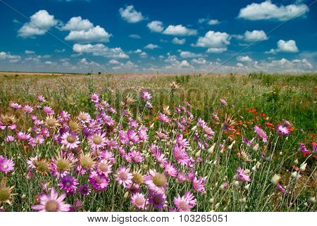 summer landscape with pink wildflowers and blue sky