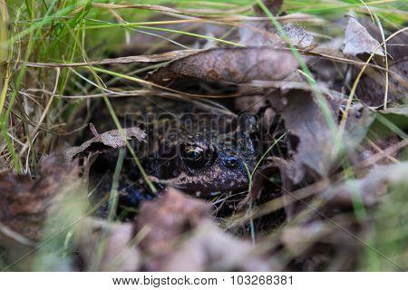 Frog nesting