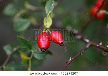 Red Dog Rose Fruits