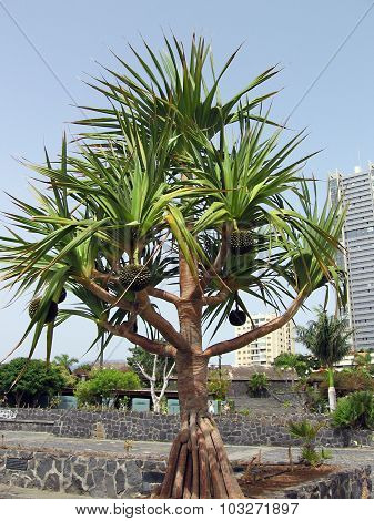 The tree with original fruits. Pandan, screw palm