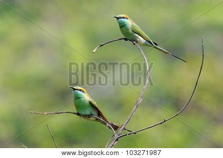 Two Little Green Bee-eaters Perching In The Garden At Goa Beach, India