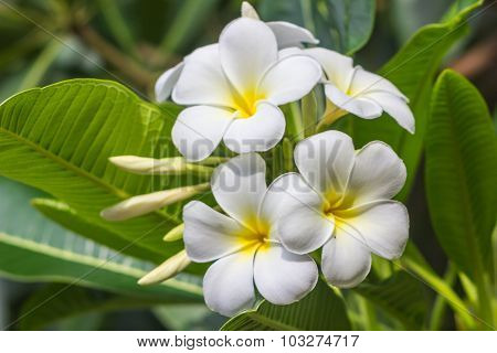 White Plumeria On The Plumeria Tree.