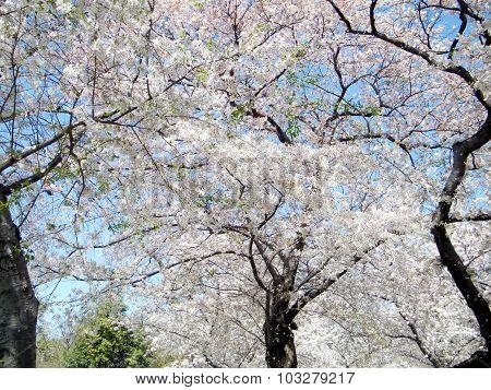 Washington Cherry Blossoms Trees 2010