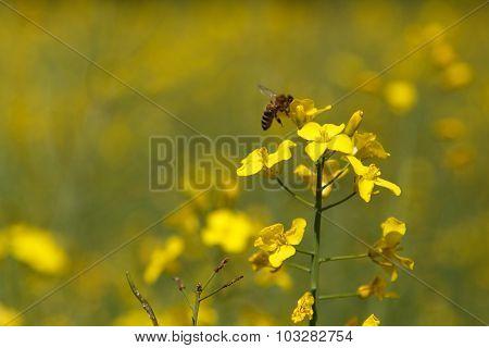 Bee on a Rape Plant