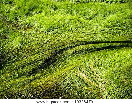 Grass In Thermal Rivers Of Yellowstone